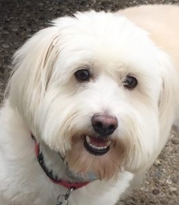 Gunny is a Mini Goldendoodle with three legs rescued by his pet parents. He lives with Maggie, Rocky and Mason.