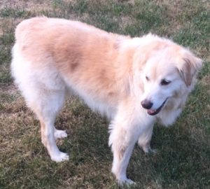 Harley is a Golden Pyrenees who lives with Zoey. He is a sweet dog, but a bit of an attention hog!