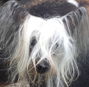 Rocky is a gorgeous Chinese Crested that lives with Maggie, Mason and Gunny.