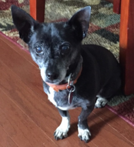 Tudie recently crossed over the rainbow bridge at 15 years of age. Chihuahua's tend to get a bad rap, but she was a doll and is missed.